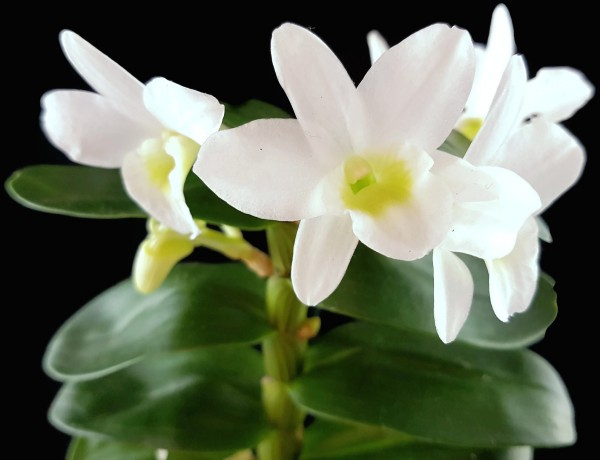 "Dendrobium ""Pocket Lover"" - Miniatur Schmetterlingsorchidee"