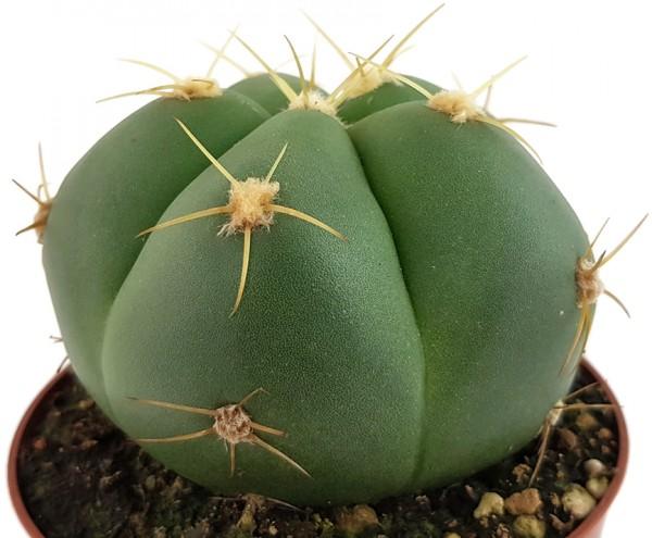 Gymnocalycium horstii - flachkugeliger Kaktus