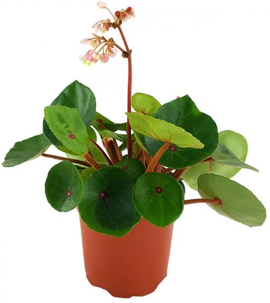 Begonia conchifolia var. rubrimacula 'Red Ruby' - Begonie