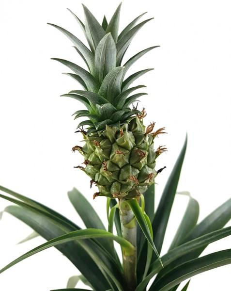 Ananaspflanze mit Frucht 'Ananas Corona'