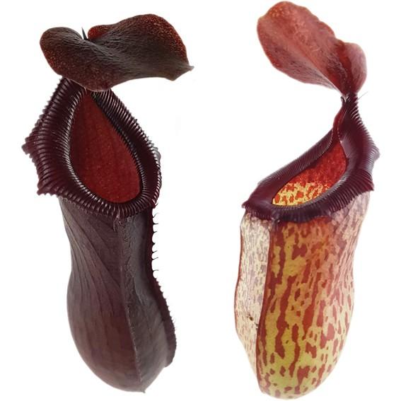 Nepenthes Set - 'Mimi & Bill'