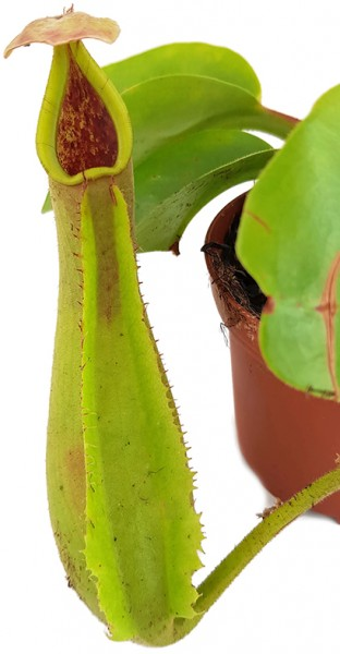 Nepenthes truncata BE-4001