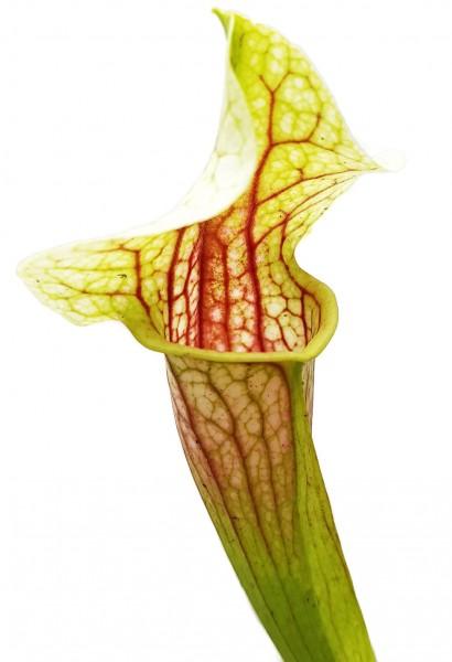Sarracenia cv. `Eva`