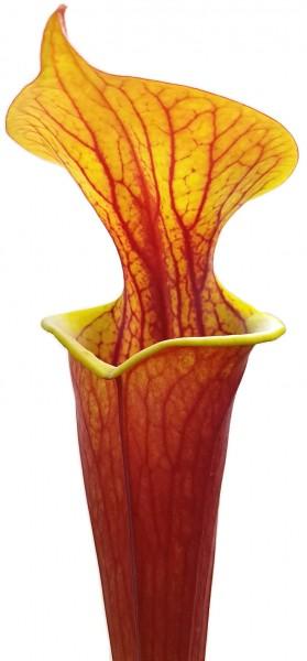 "Sarracenia Flava var. Rubricorpora - ""Burgundy"" MK F26"
