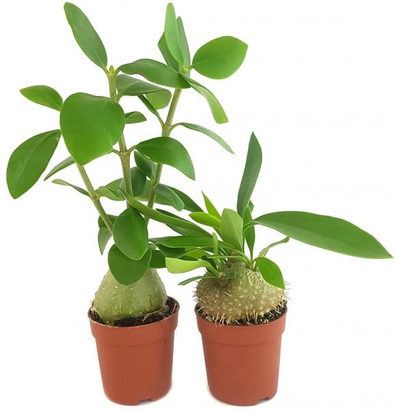Ameisenpflanze Set - Hydnophytum papuanum & Myrmecodia Beccarii