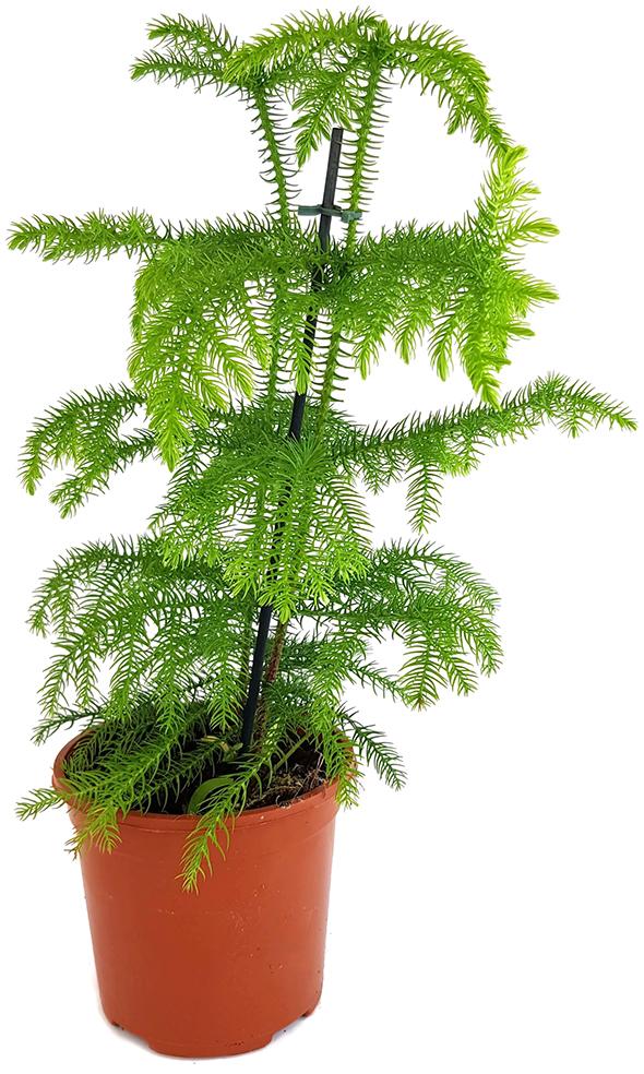 außergewöhnliche Zimmerpflanze immergrüne Zimmertanne Araucaria heterophylla