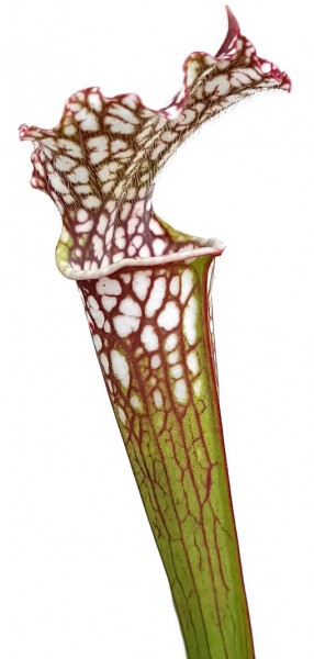 Sarracenia Leucophylla - Gracil Fast Grower