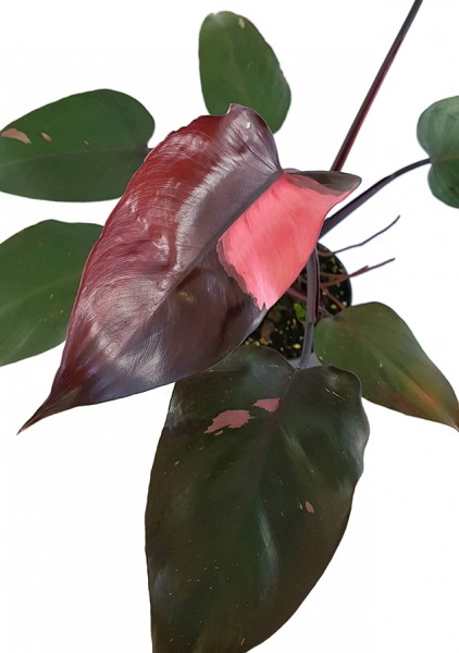 Philodendron Pink Princess - Baumfreund
