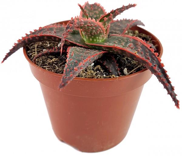 Aloe 'Carola' - Miniaturaloe