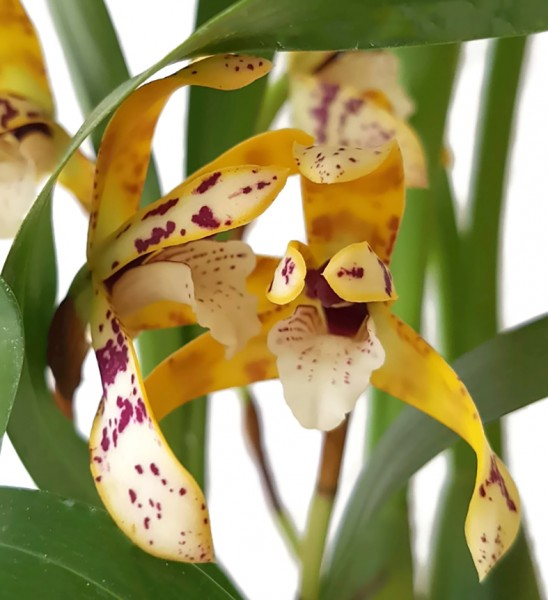 Maxillaria picta - Orchidee