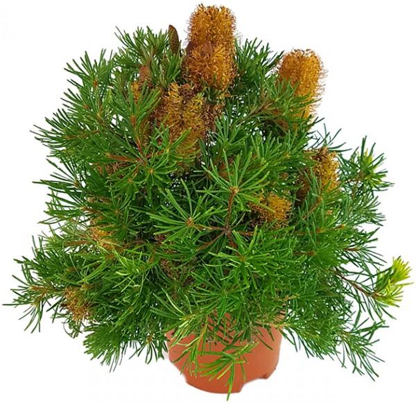 Banksia spinulosa 'Birthday Candles' - Zwergstrauch
