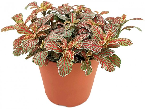 Fittonia 'Grey Sensation' - Mosaikpflanze