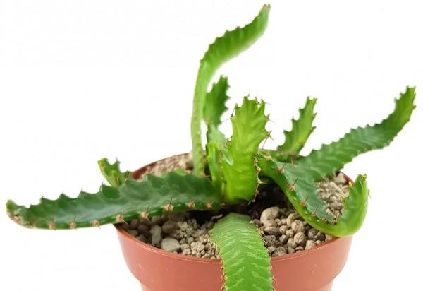 Euphorbia stellata - Sukkulente