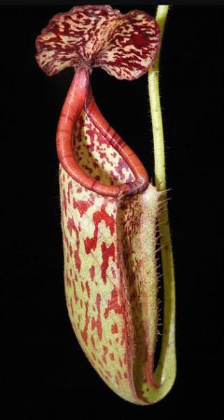 Nepenthes burbidgeae x glandulifera BE-3888