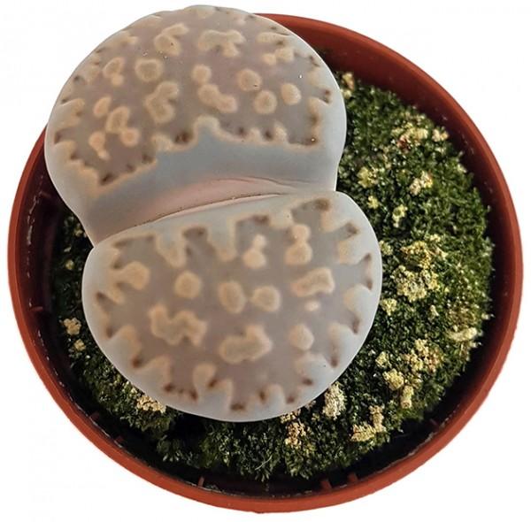 Lithops 'julii' - lebende Steine