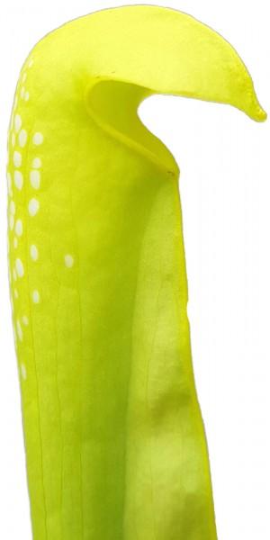Sarracenia Minor 'Anthocyanfree' Form