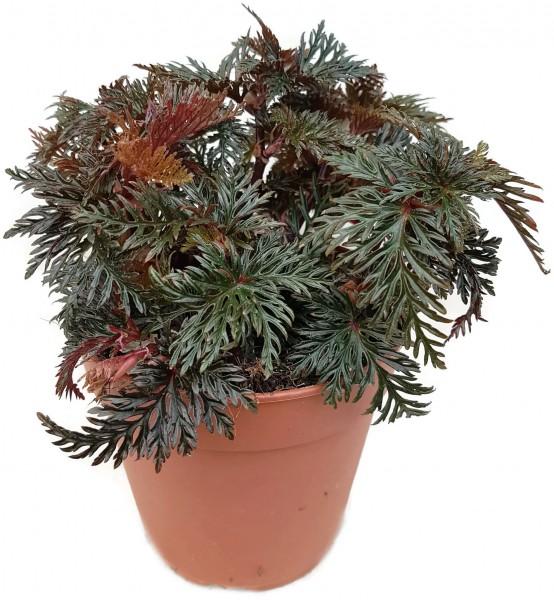 Begonia bipinnatifida - Farnblatt Begonie