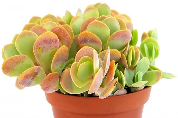 Kalanchoe rotundifolia - bunte Sukkulente