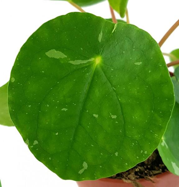 Pilea peperomioides 'White Splash' - panaschierte Ufopflanze