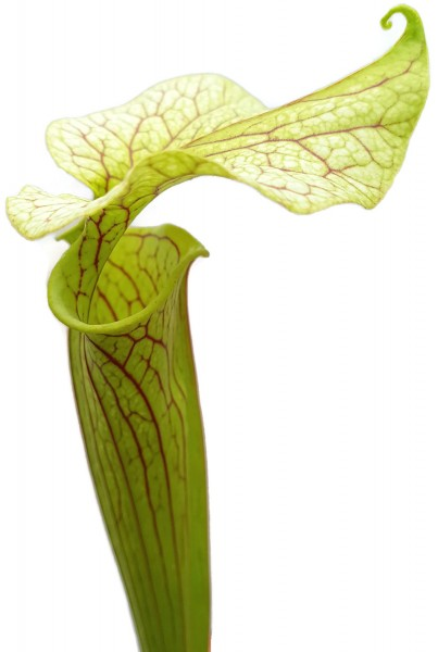 Sarracenia Flava - Veined 'Peach Blush Flower'