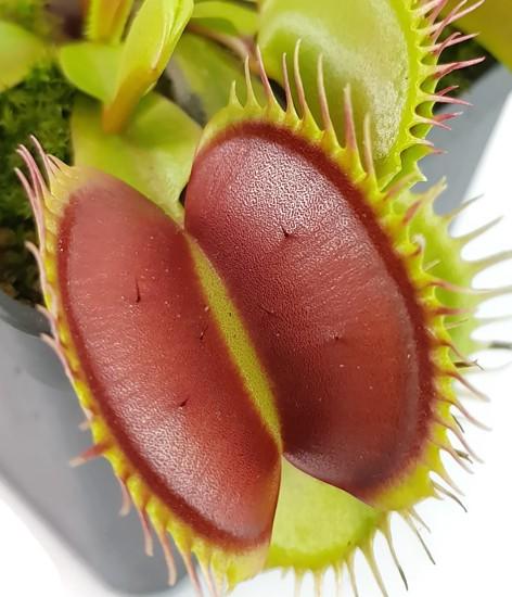 Dionaea muscipula - 'Big Teeth, Red Giant'