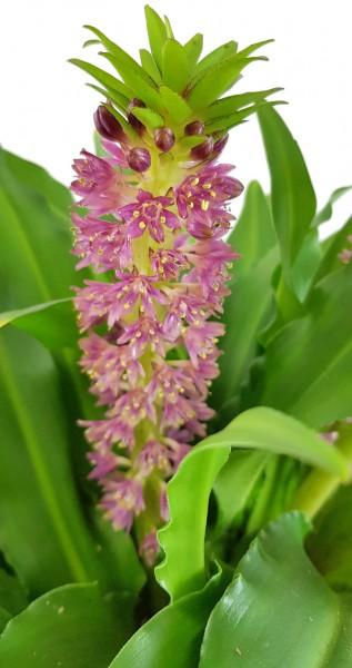 Eucomis Leia rosa Schopflilie Ananaslilie Kübelpflanze selten rar rarität Blumenzwiebel knolle