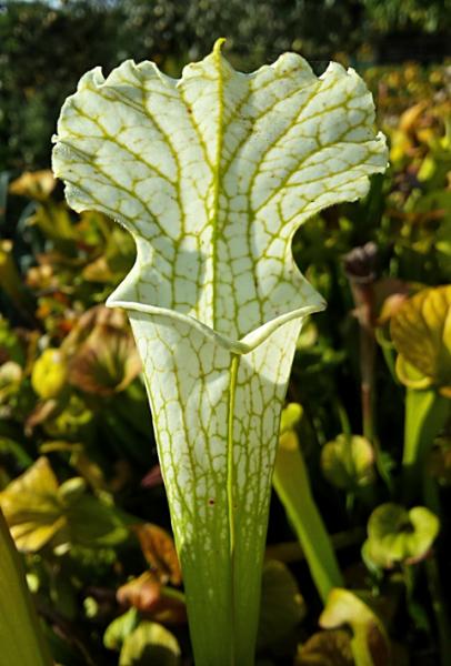 "Sarracenia Leucophylla ""Schnell's Ghost"""
