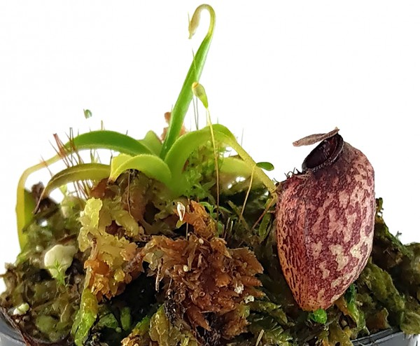 Nepenthes aristolochioides - seedgrown
