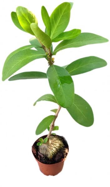 Hydnophytum Formicarum - Ameisenpflanze