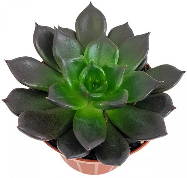Echeveria 'Black Prince' - schwarzes Dickblatt
