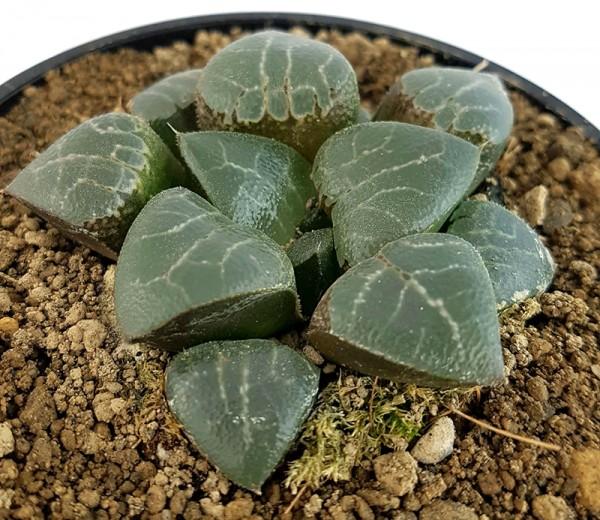 Haworthia magnifica - transparente Sukkulente