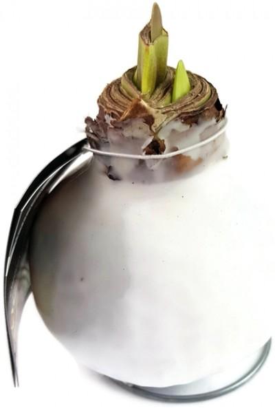 gewachste Amaryllis - Ritterstern
