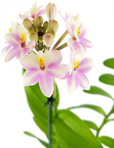 Epidendrum radicans - Schmetterlingsorchidee