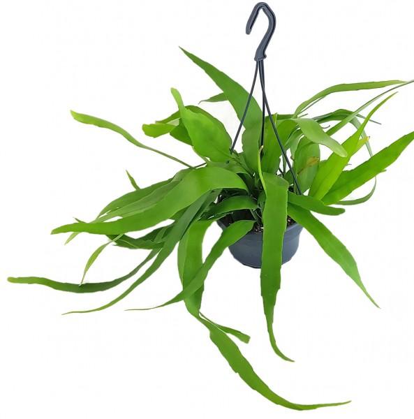 Epiphyllum pumilum - zwergiger Blattkaktus