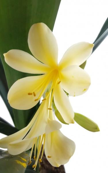 Clivia Hybride Gelb - gelbe Klivie