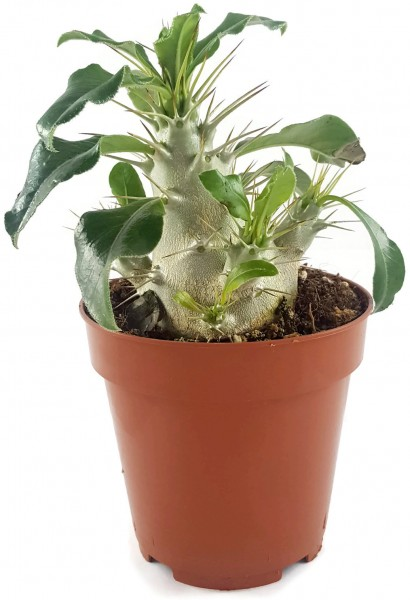 Pachypodium saundersii - Sukkulente