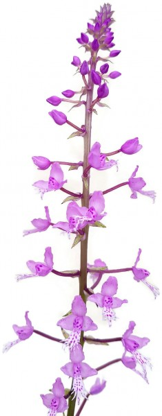 Stenoglottis longifolia - Orchidee