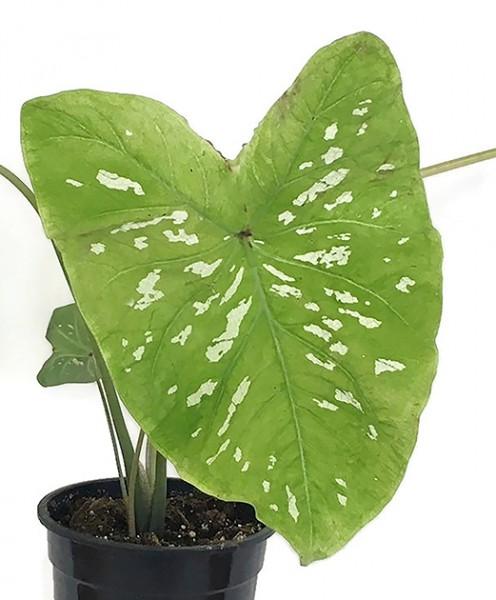 Caladium 'grün' - Seidenpapierpflanze