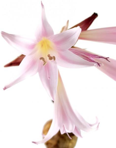 amaryllis belladonna belladonnalilie echteblumenzwiebel selten rarität fangblatt