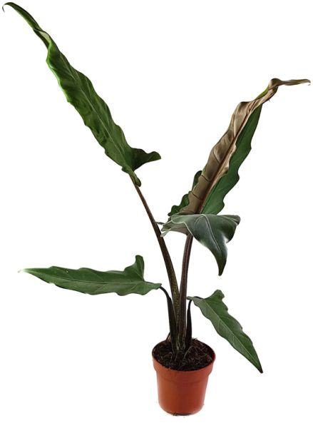 Alocasia lauterbachiana - Pfeilblatt