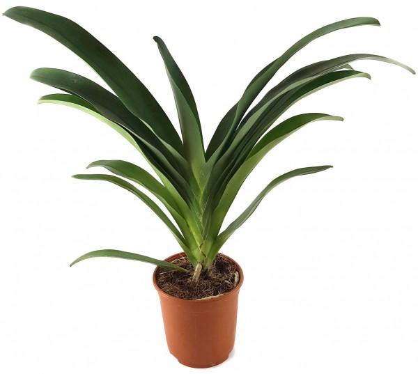 "Angraecum ""Crestwood"" - Orchidee"