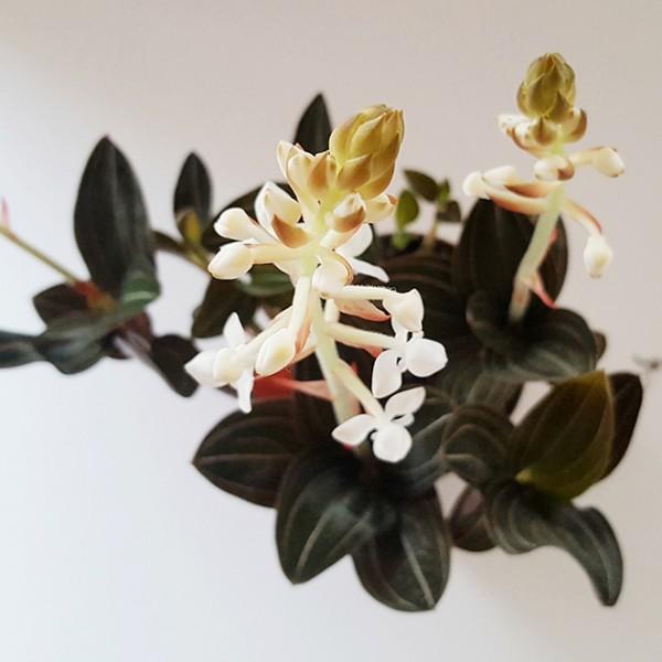 Ludisia discolor - Blattschmuck Orchidee