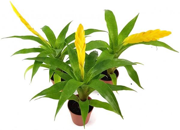 Vriesea ospinae 3er Set - Bromelien