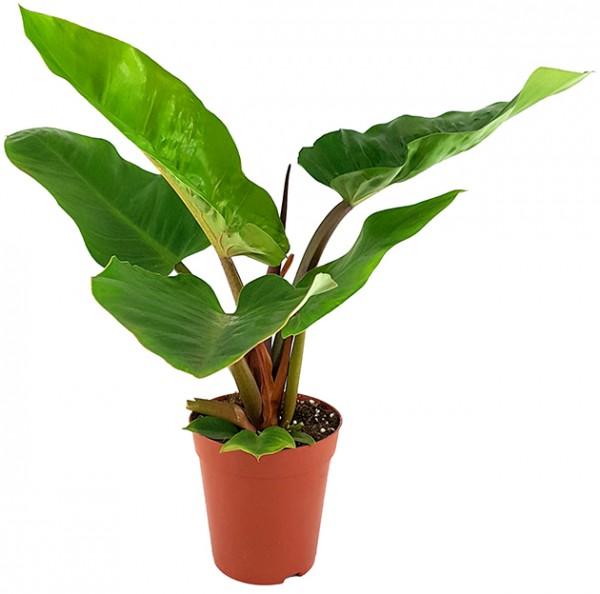 Philodendron 'melinonii' - großer Baumfreund