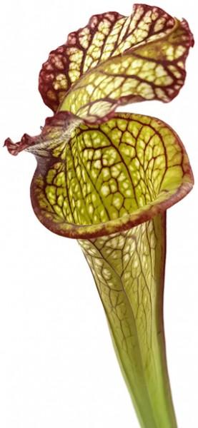 Sarracenia X 'Lynda Butt'