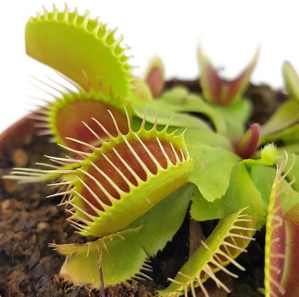Dionaea muscipula 'Flexx'