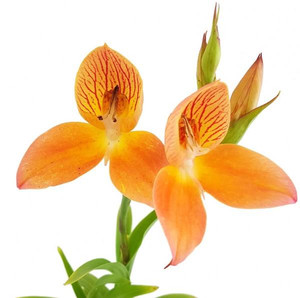 Disa Hybride Sids Favourite - Erdorchidee