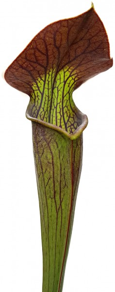 Sarracenia Alata var. Nigropurpurea, Black Tube, DeSoto NF