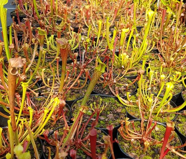 Sarracenia Flava var. Atropurpurea X self - 2 jährige Sämlinge - seedgrown