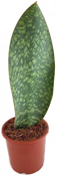sanseveria masons congo sansiverie blatt breit zimmerpflanze robust schatten licht hell dekoration grünpflanze